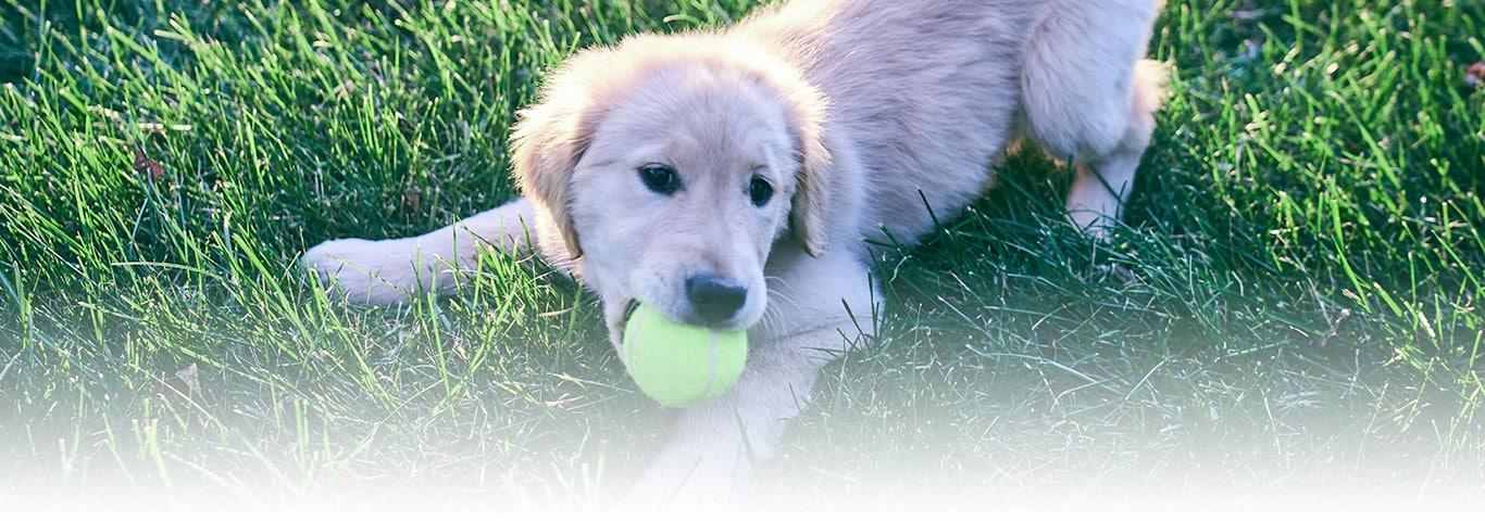 Ergen Yavru Köpekler Güçlük Oluşturabilir Hills Pet
