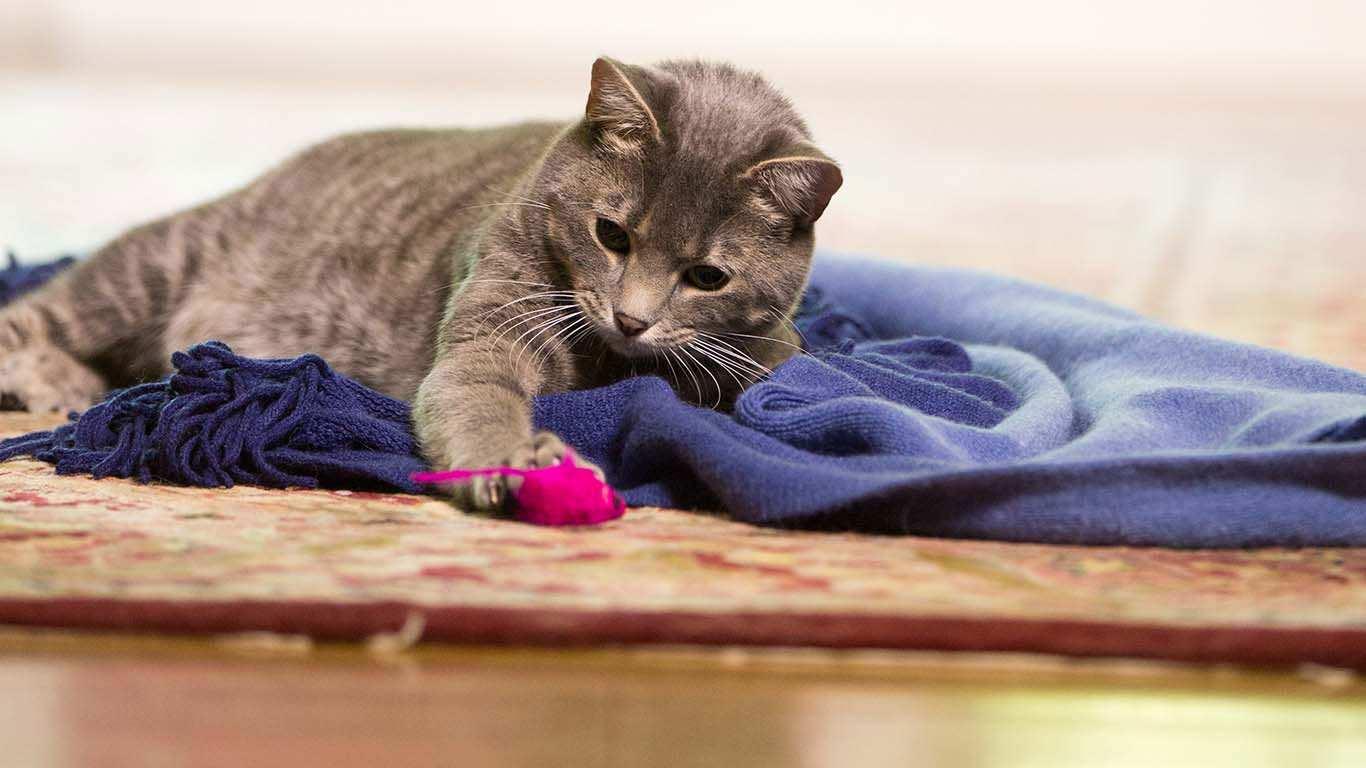 Kediler hakkında ilginç gerçekleri öğrenin